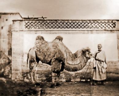 20世纪的北京骆驼队