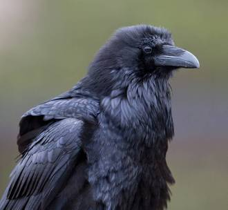 A Raven appears to be wearing shoulder pads. Ravens ,Baltimore Ravens, close-up, portrait, detailed