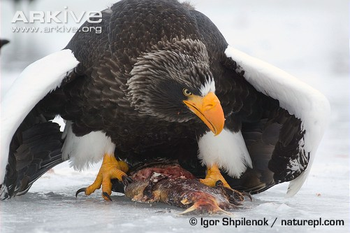 Stellers-sea-eagle-protecting-catch